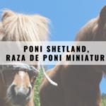 Poni Shetland, raza de poni miniatura